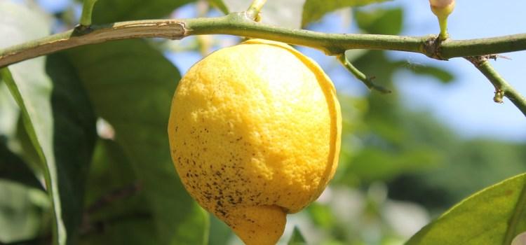 Uprawa cytryny w domu i na balkonie