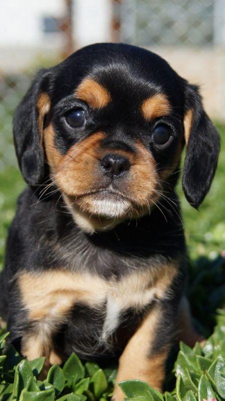 Banksia Park Puppies Pugaliers