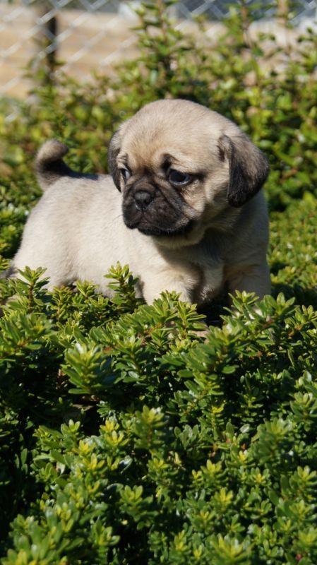 Banksia Park Puppies Pugalier