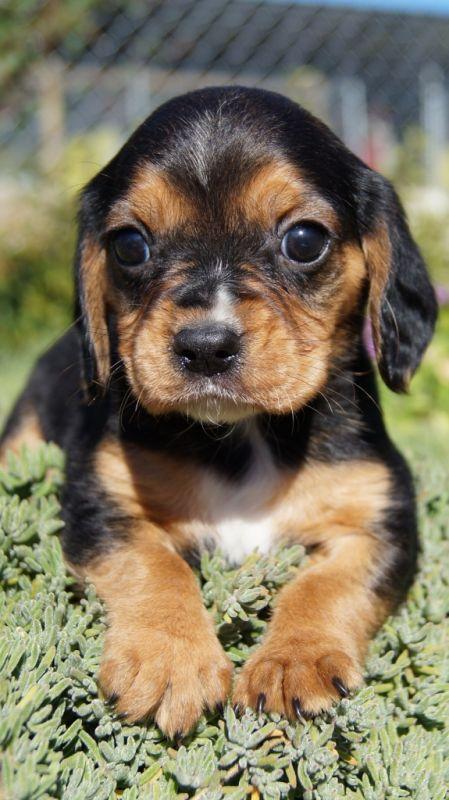 Banksia Park Puppy Beagalier