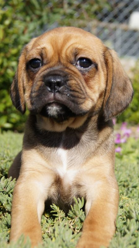 Banksia Park Puppies Puggle