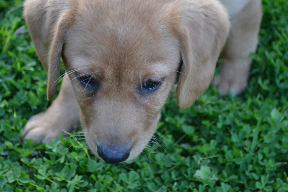 Cavador Banksia Park Puppies