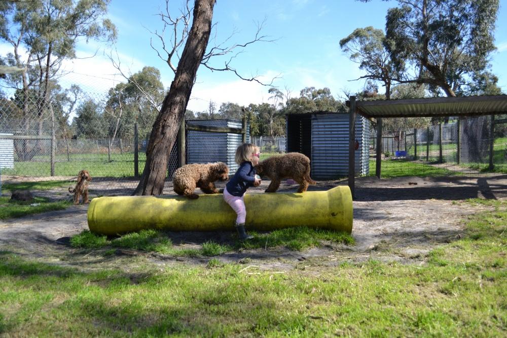 Banksia Park Puppies Poodle socialisation