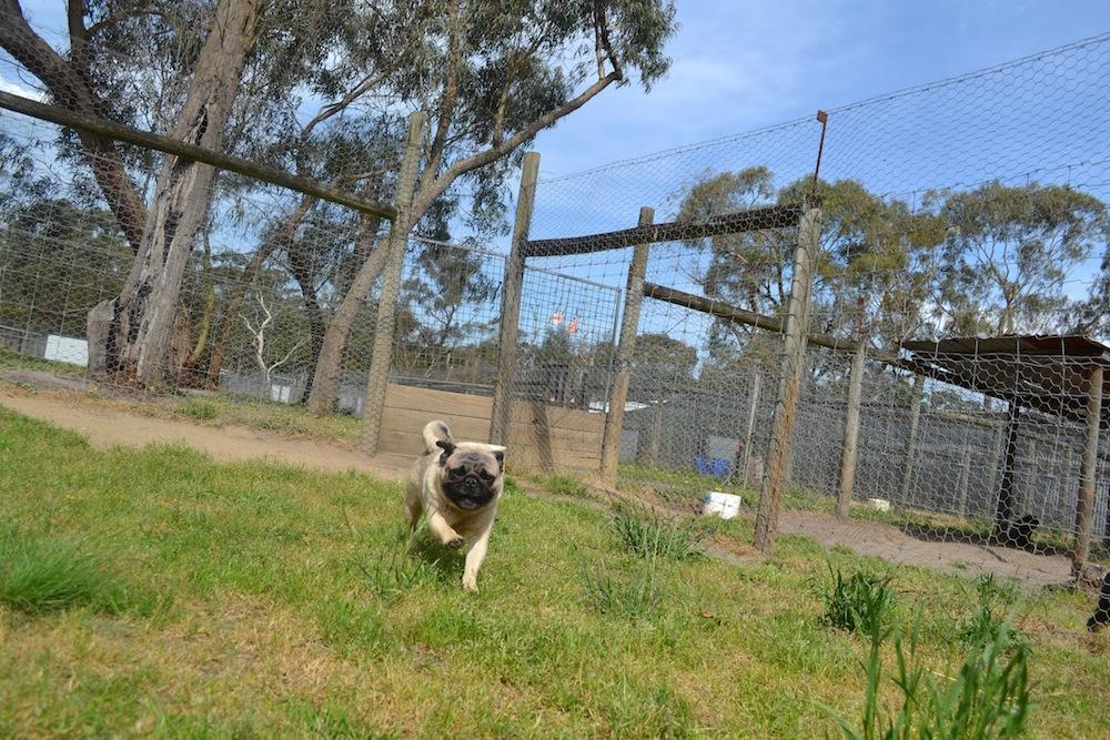 Banksia Park Puppies Beefy