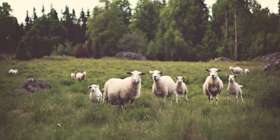 Sheep in a meadow by Jonas Nilsson Lee, Unsplash