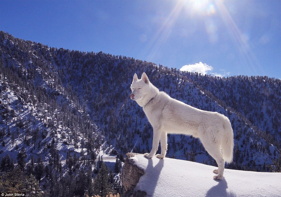 245F504000000578-2894397-Wolf_looks_happy_soaking_up_the_rays_among_the_snowcapped_peaks_-a-14_1420208280093