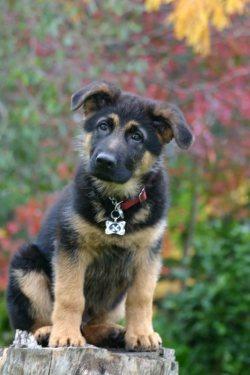 Small Of German Shepherd Shedding