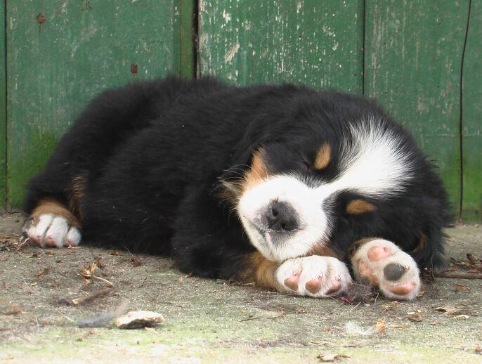 Cute Rottweiler Puppy Wallpaper Berner Sennenhond Honden Rassen Jouwweb Nl