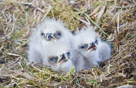 Unusual Girls Wallpaper Cute Baby Eagles Barnorama