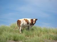 Chileense koe in Chileense duinen