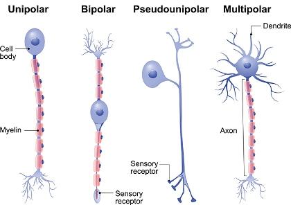 Human Brain Neuroscience Cognitive Science