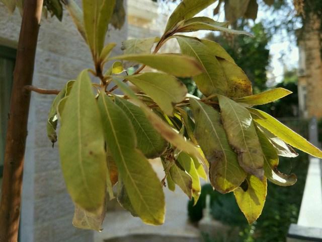 גסיסה לא ברורה - עלים ירוקים אחרונים מהקלב מרינה, נקווה שאו המיקוריזה מהיער או הסרפיקו או שניהם יחדיו יצילו.
