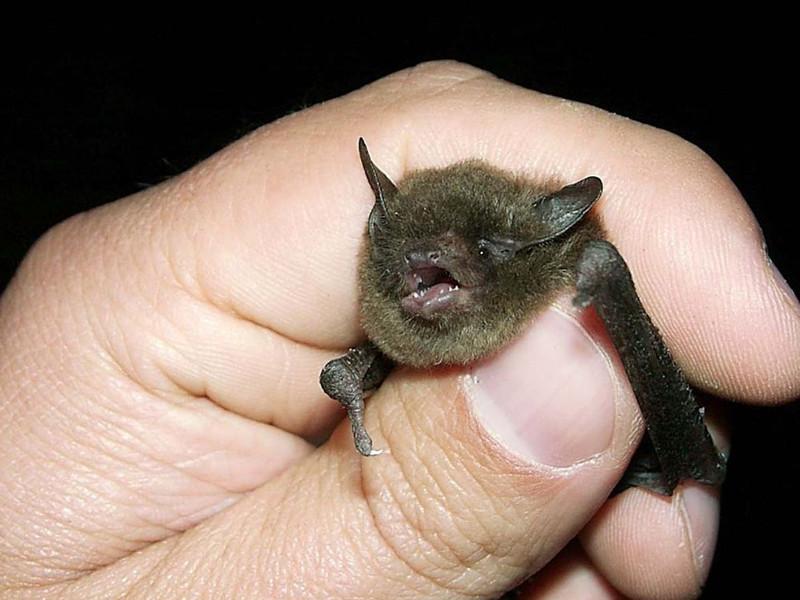 Indiana Bat Bat Facts And Information