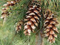 Mazedonische Kiefer / Rumelische Kiefer - Pinus peuce ...