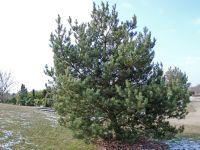 Waldkiefer 'Norske Typ' - Pinus sylvestris 'Norske Typ ...