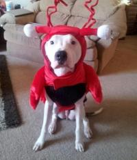 Lobster Dog Halloween Costume by Casual Canine | BaxterBoo