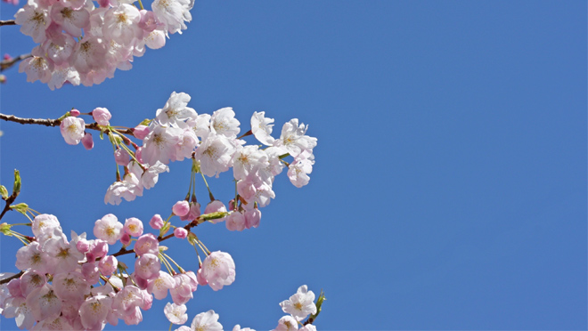 Team Power Smart members can get cherry blossom trees at 50 off - cherry blossom animated