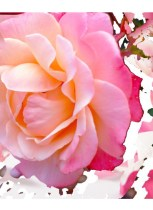 Lady-Pink-the-rose-rose-by-Eve-Dupouy