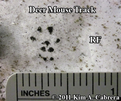 Animal Tracks - Deer Mouse (Peromyscus maniculatus)