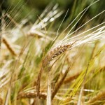 A wheat background with a single head of wheat isolated against a bokeh background