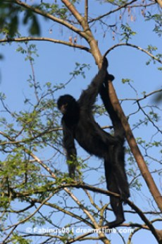 spider monkey in tree