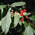 Native Plant of the Month: Bitter Cherry