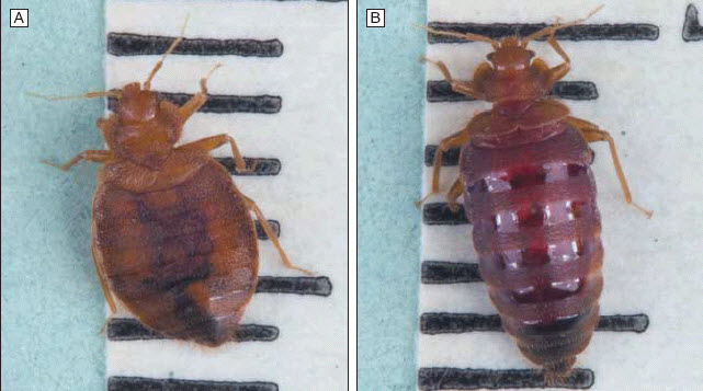 Bed Bugs Pictures Actual Size, Stages and Skin Bites
