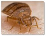 Bugs That Look Like Bed Bugs Bed Bugs Com