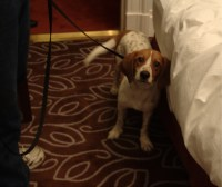 Bedbug Sniffing Dogs: Bed Bug Scent Detection Canines