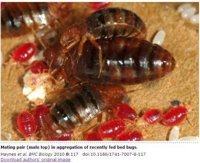 Bed Bug Life Cycle - Bed Bugs Northwest