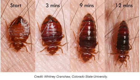 Bed Bug Pictures at Bed Bug Supply