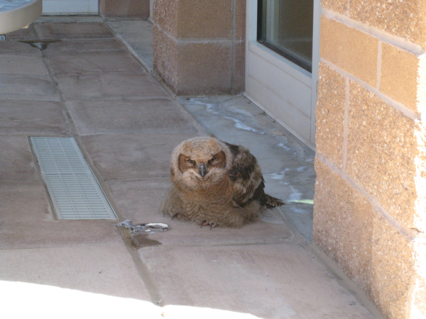 owlet in Broomfield courtyard