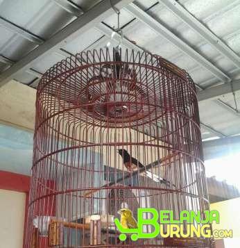 Dijual Kenari Di Klaten Brosur Lomba Burung Update Rutin Klub Burung Jual Murai Medan Hutan Belanjaburung