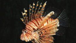 pesce-scorpione-280x169