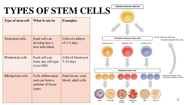 Types of stem cells and their uses - Bella Vista International