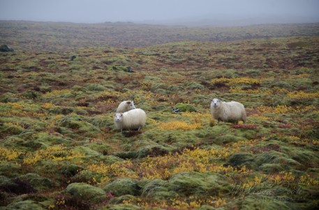 The Icelandic sheep is one of the world's oldest and purest breeds of sheep. Throughout its 1100 years of history, the Icelandic breed has been truly triple-purpose, treasured for its meat, fiber and milk.