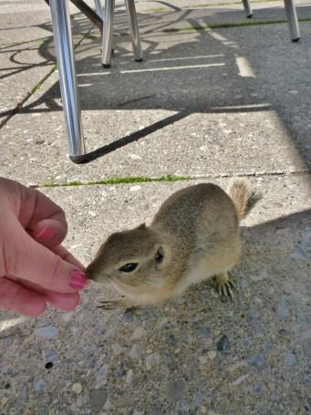 feeding the curious Prairie Dogs