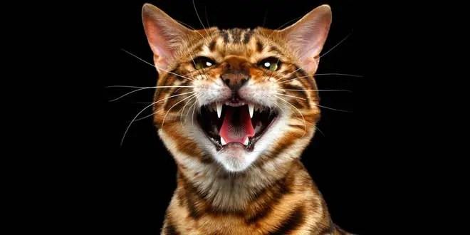Unusual Girls Wallpaper Bengal Cat Behavior Problems
