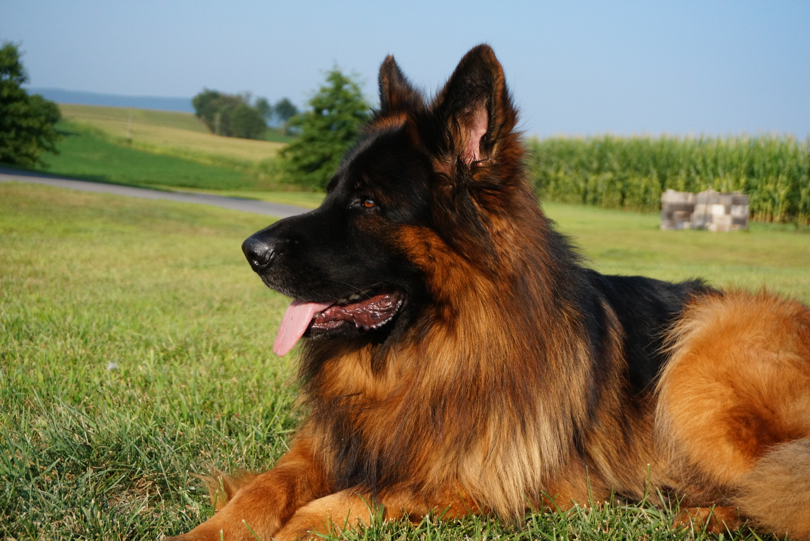 Image For Long Coated German Shepherds