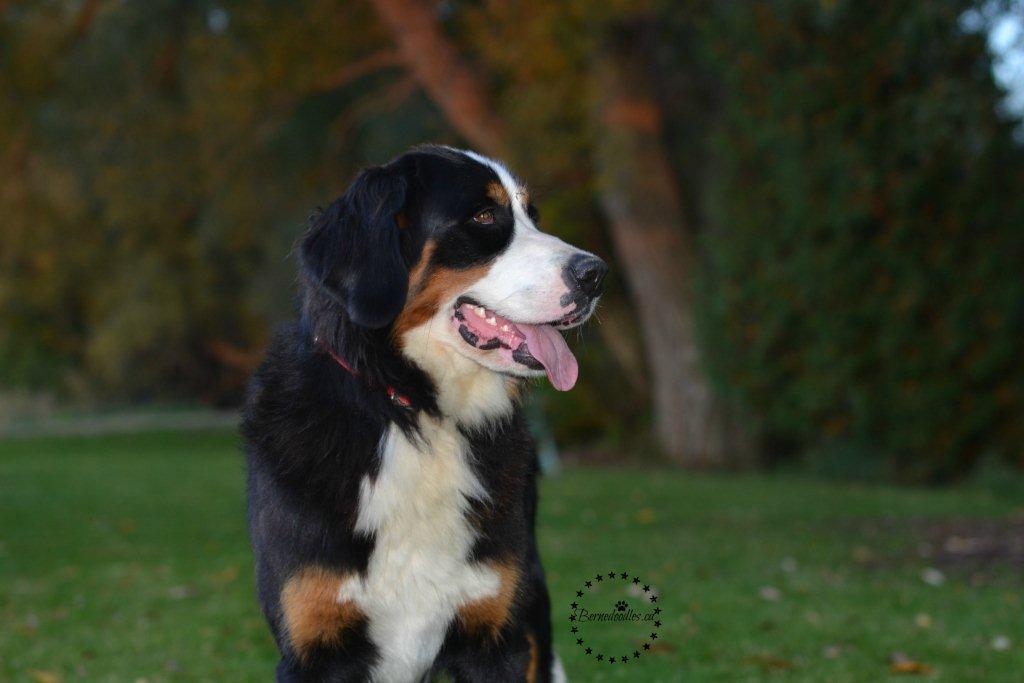 Willow Brooke Bernedoodle Puppies | FAQ