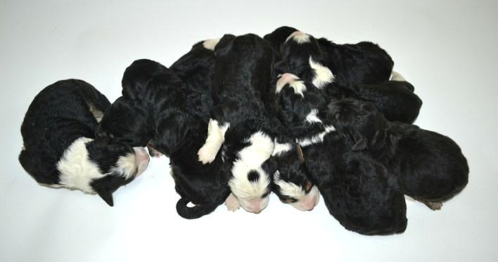 bernedoodle, bernedoodle puppies, bernedoodle breeders, bernedoodles, bernedoodle puppies, available bernedoodle puppies, available Bernedoodle puppies, tri colour bernedoodle,bernedoodle, bernedoodle, bernedoodle, bernedoodle, bernedoodles, bernedoodle puppies Ontario, bernedoodle, bernedooodle, bernedoodle, bernedoodle, bernedoodle, bernedoodle, bernedoodles, bernedoodle puppies, bernedoodle puppy, bernedoodle breeder in Canada, bernedoodle breeder in Ontario, bernedoodles, bernedoodles for sale, bernedoodles, Willow Brooke Bernedoodles, bernadoodles, available puppies, available Bernedoodle puppies, bernedoodles British Columbia, bernedoodles Alberta, bernedoodles Ontario, bernedoodles Toronto, bernedoodles Quebec, bernedoodles Nova Scotia, bernedoodles Newfoundland, bernedoodles New Brunswick, Bernese mountain dog, labradoodles, goldendoodles, bernedoodles, swiss ridge, swiss ridge kennel, swiss ridge bernedoodles, bernadoodles, berniedoodles, bernedoodles for sale, bernedoodles, bernedoodle, bernedoodle, bernedoodle, bernedoodle, bernedoodle, bernedoodle, bernedoodles, bernedoodles, bernedoodles, bernedoodle, bernedoodle puppy, bernedoodles Toronto, bernedoodles, bernedoodles, bernedoodle, bernedoodles, bernedoodle, bernedoodle, bernedoodle, bernedoodle, bernedoodle, bernedoodle, bernedoodles, bernedoodle, bernedoodles, bernedoodles, bernedoodles, Willow Brooke Bernedoodles, available Bernedoodle puppies, Bernedoodles Canada, bernedoodle, burnadoodle, berniedoodle, bernadoodle, bernadoodle, bernedoodle, bernedoodles, Bernedoodles, Bernese Mountain Dog, Poodle, Standard Poodle, Moyan Poodle, Mini Bernedoodle, Medium Bernedoodle, Standard Bernedoodle, Bernedoodles, bernedoodle, Bernedoodle Canada, bernedoodles bernedoodles bernedoodles, bernedoodles, Willow Brooke Bernedoodles, available bernedoodles, available Bernedoodles, Bernedoodles, bernedoodles, bernedoodle, bernedoodle, bernedoodles, bernedoodle, bernedoodle, bernedoodles, bernedoodle puppy, bernedoodle, 
