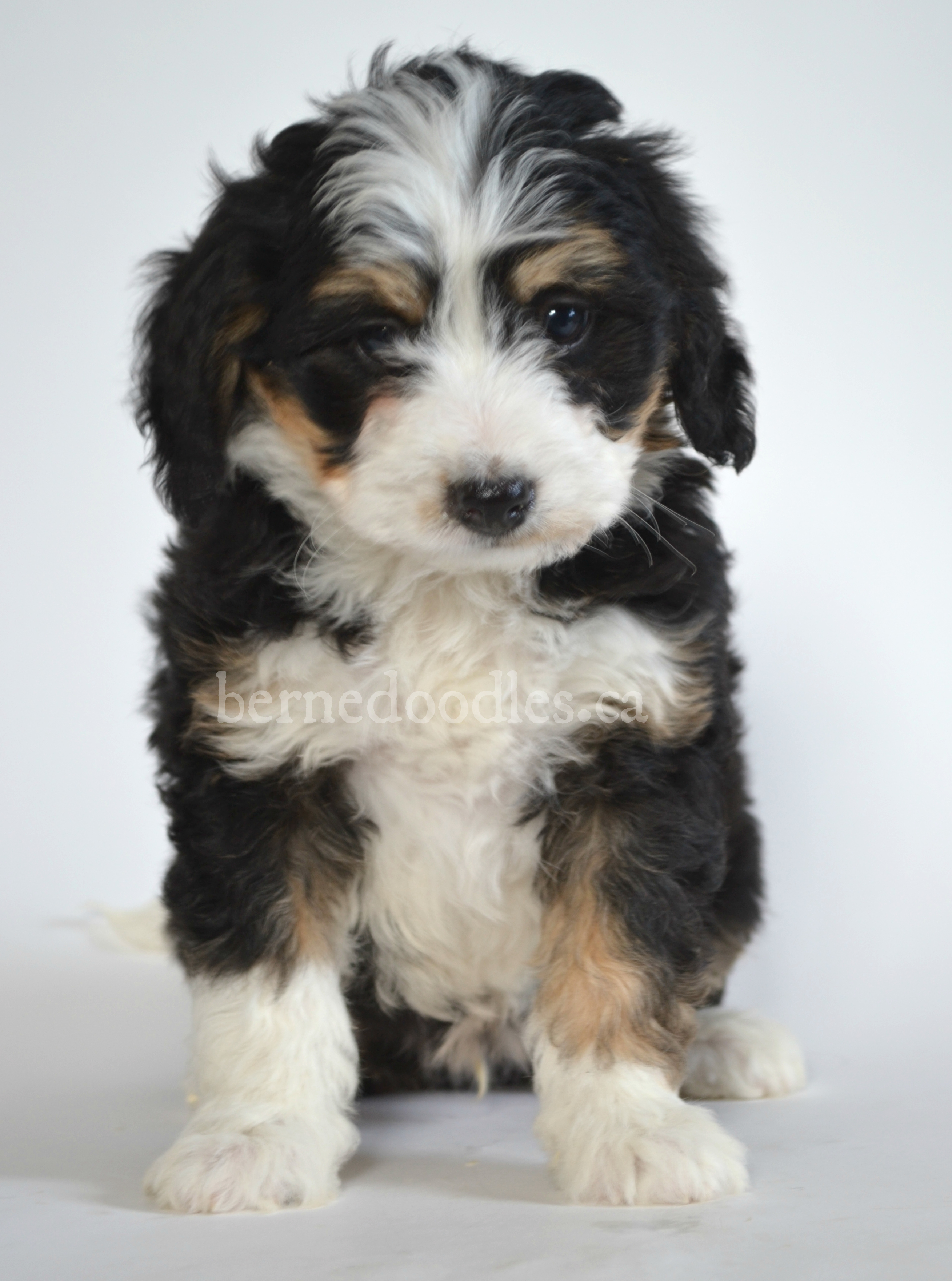 Hypoallergenic Dogs For Sale Canada