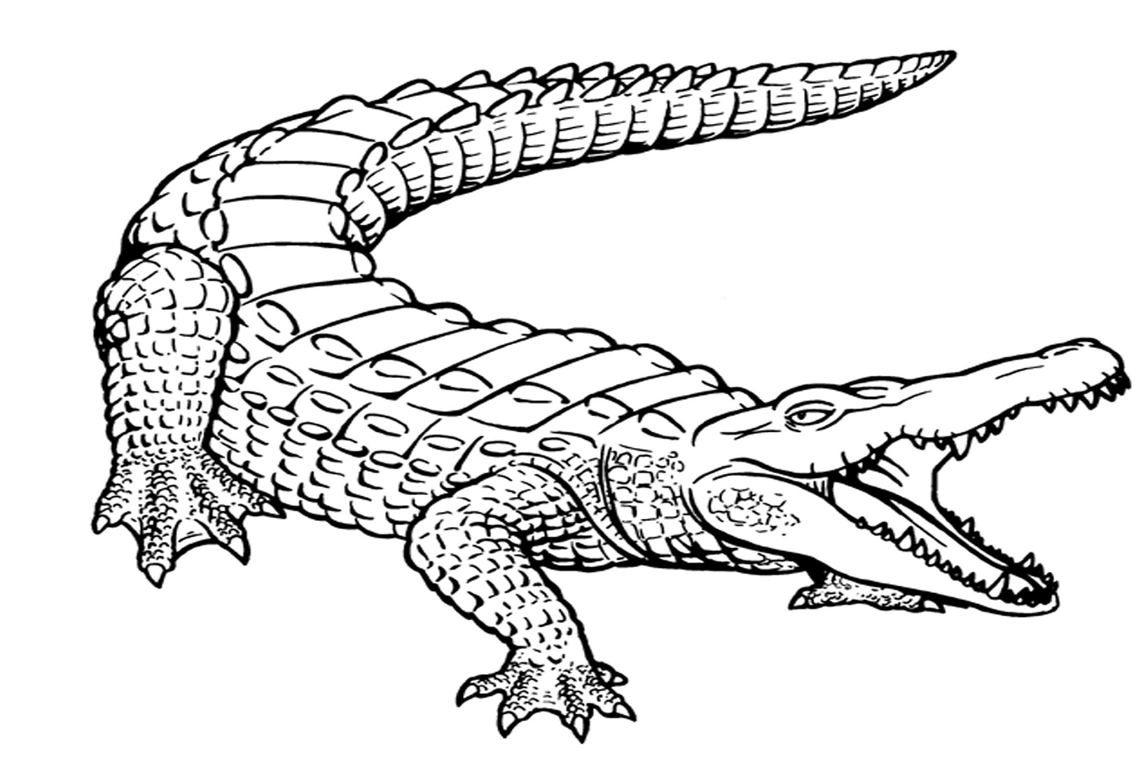 Alligator coloring page images