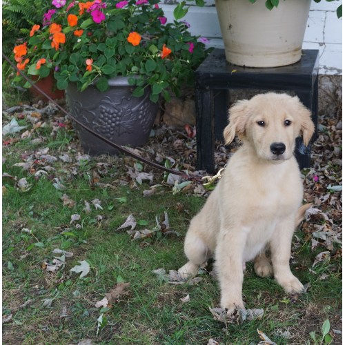 Medium Crop Of Trained Dogs For Sale