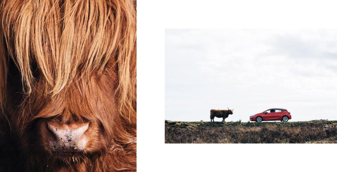 highlands vaches ecossaises