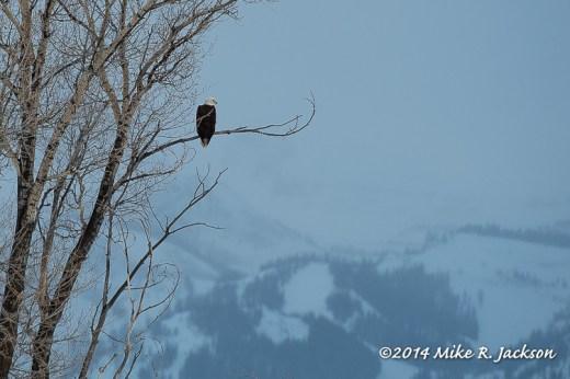 Web Bald Eagle Jan4