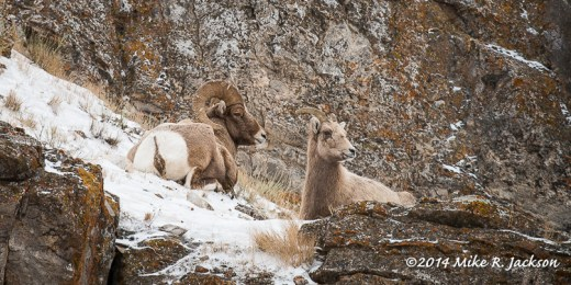Web Bighorns Resting Jan13