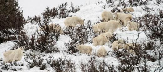 Web Mtn Goat Herd Jan11