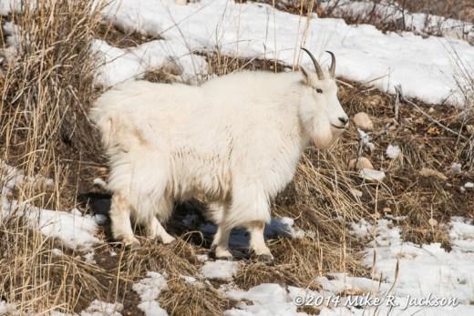 Web Mtn. Goat Jan24