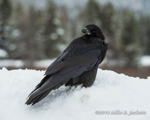 Web Raven Jan12